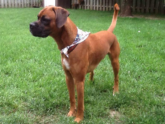 Boxer / Beagle Mix