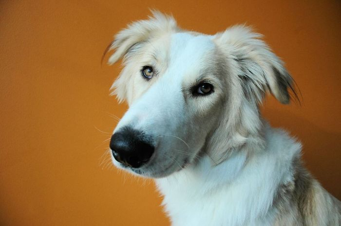 Harvey - Great Pyrenees And Greyhound X