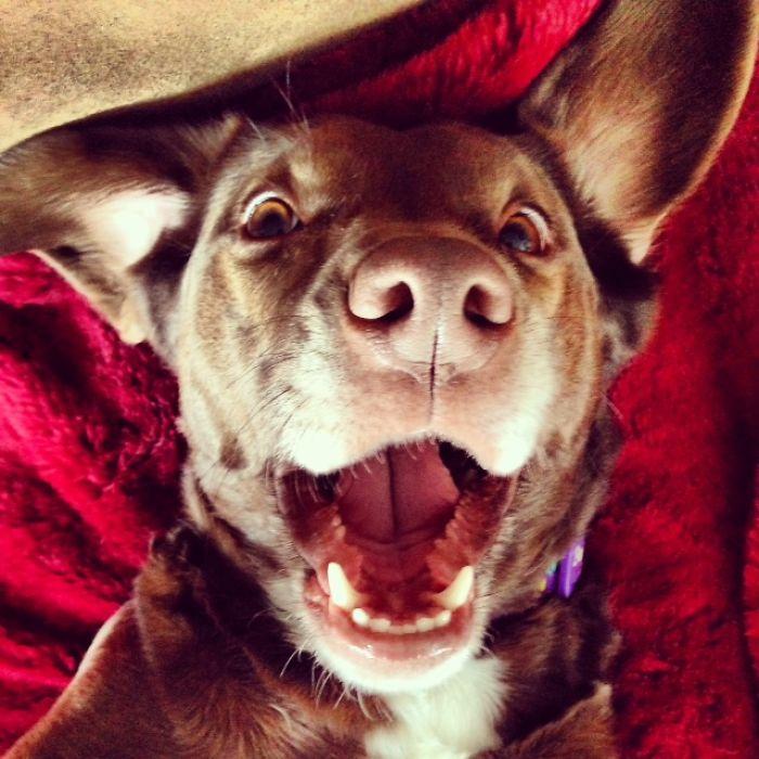 Teko (aka Tekie Marie) Choco Lab + Jack Russell Terrier