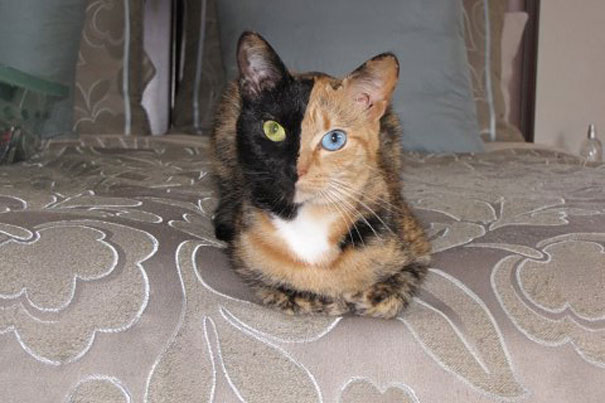 One in a Million  Two-faced-cat-3