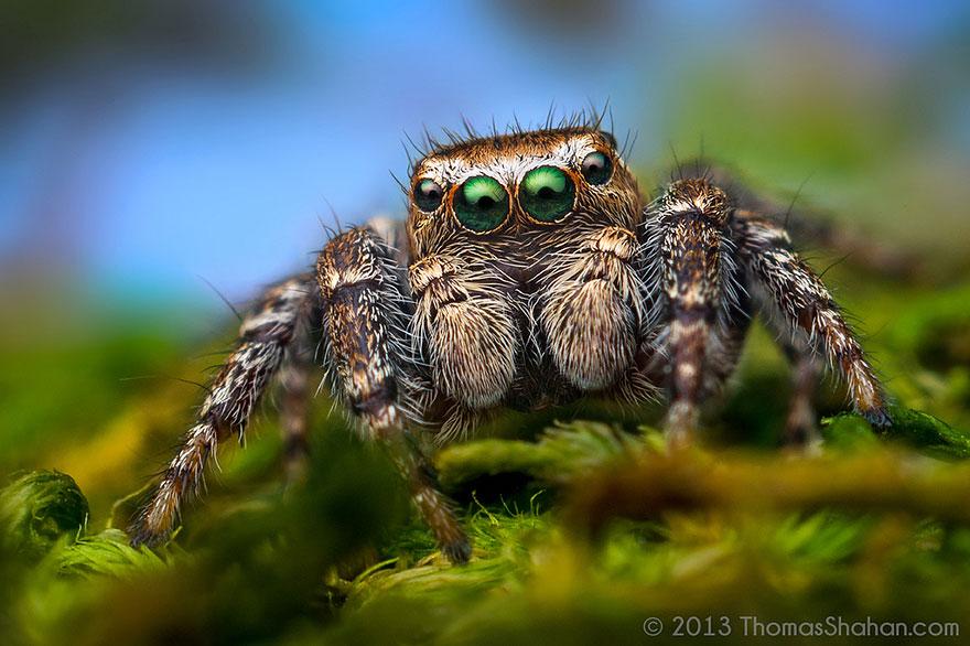 jumping-spiders-macro-photography-thomas-shahan-12