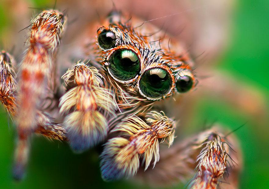 jumping-spiders-macro-photography-thomas-shahan-13