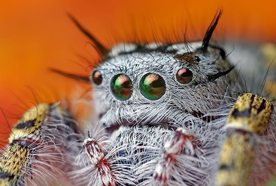 jumping-spiders-macro-photography-thomas-shahan-14
