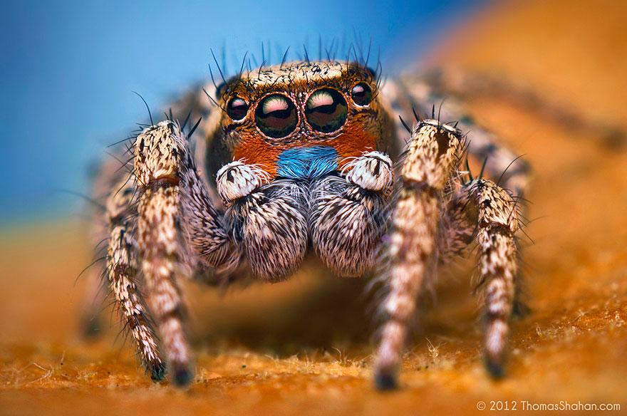 jumping-spiders-macro-photography-thomas-shahan-16