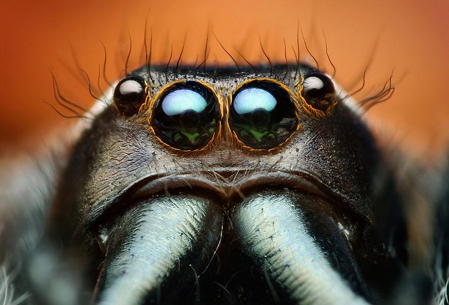 jumping-spiders-macro-photography-thomas-shahan-17