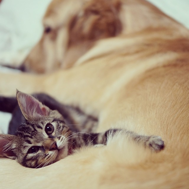 kitten-rescued-golden-retriever-ichimi-ponzu-jessiepon-3