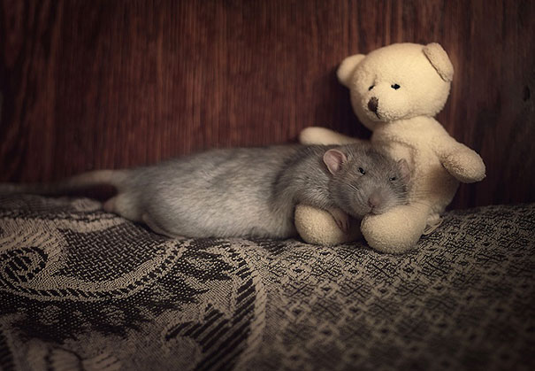 rats-with-teddy-bears-1