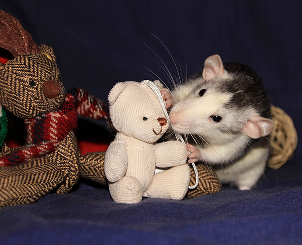 rats-with-teddy-bears-5