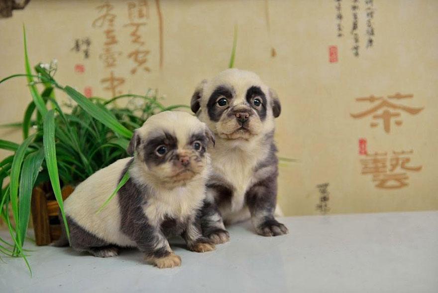 cute-dog-panda-puppies-1