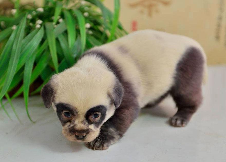 cute-dog-panda-puppies-2