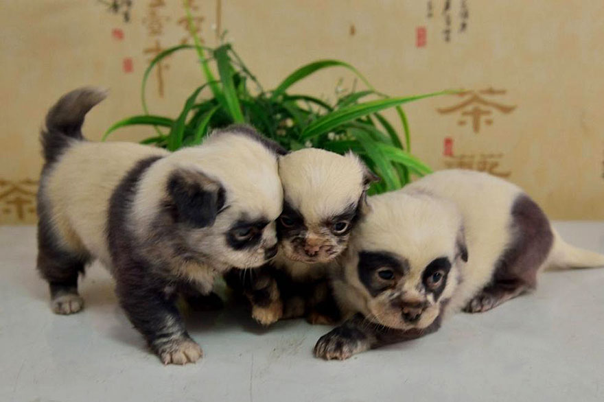 cute-dog-panda-puppies-3