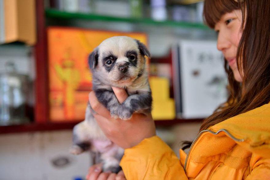 cute-dog-panda-puppies-4