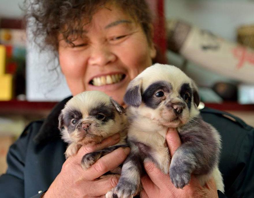 cute-dog-panda-puppies-6