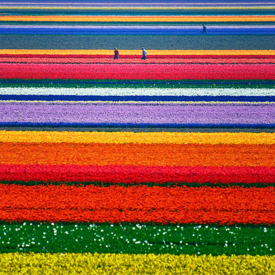 λουλούδι τουλίπα-πεδίων ολλανδία-1