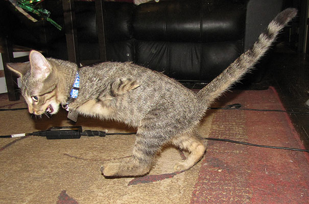 mercury-two-legged-kitten-3