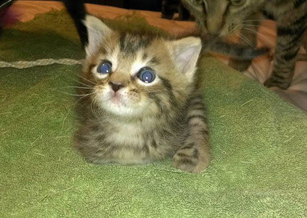 mercury-two-legged-kitten-7