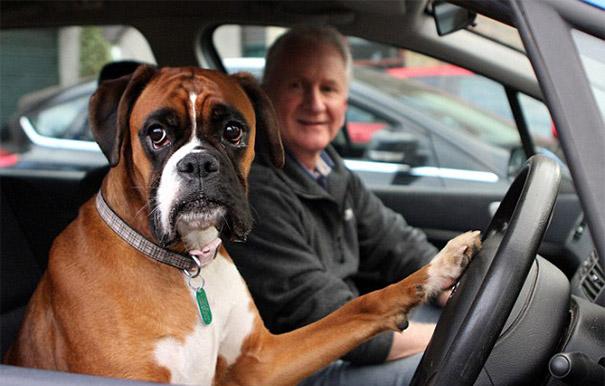 dog-honking-car-horn-1
