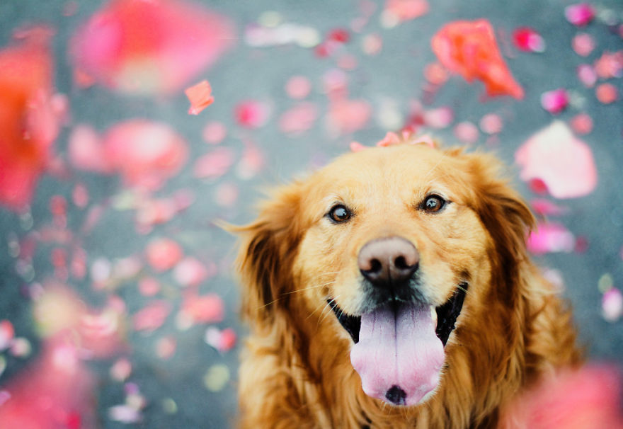dog-photography-chuppy-golden-retriever-jessica-trinh-21