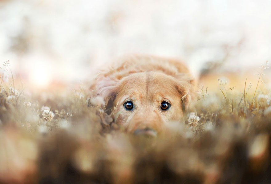 dog-photography-chuppy-golden-retriever-jessica-trinh-6