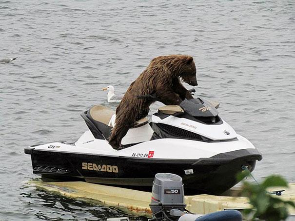 funny-bears-doing-human-things-27
