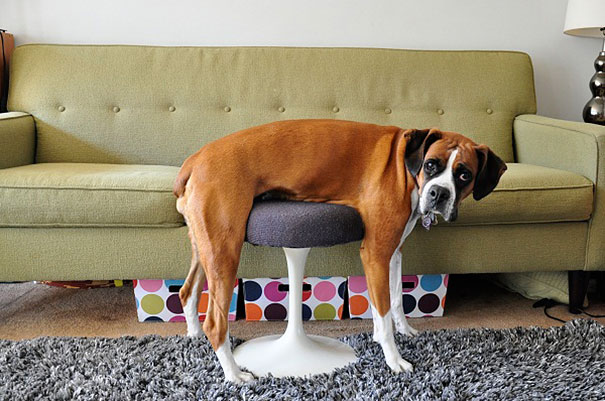 funny-cats-dogs-stuck-furniture-1.jpg