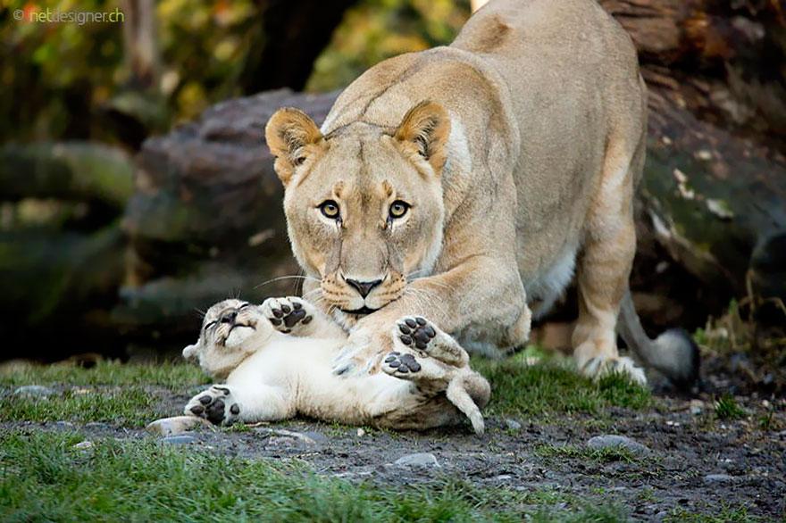 http://www.boredpanda.com/cute-animal-parenting/?image_id=animal-parents-13.jpg
