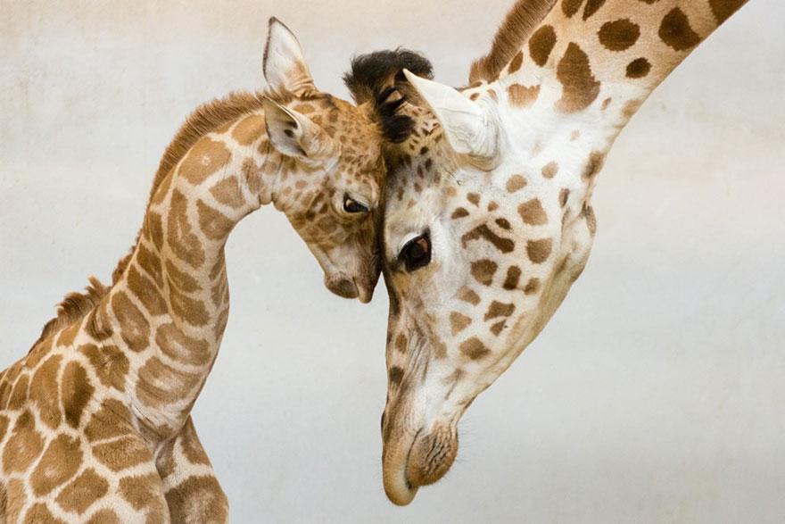 http://www.boredpanda.com/cute-animal-parenting/?image_id=animal-parents-5.jpg