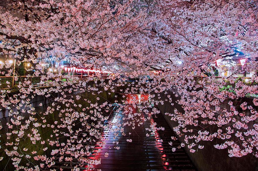 flor de cerezo-sakura-17