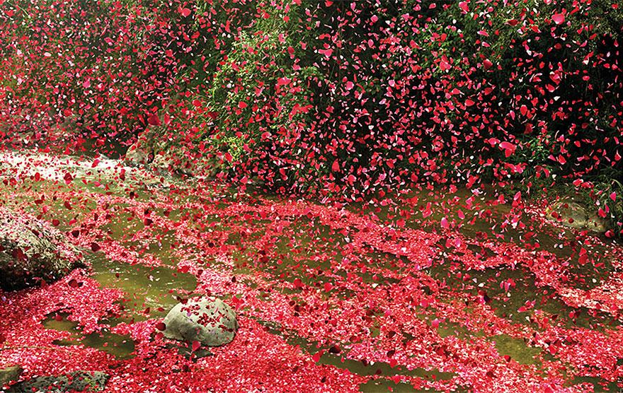 flower-petal-explosion-sony-4k-ultra-hd-6