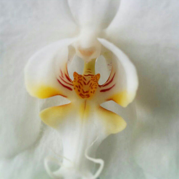 flowers-look-like-animals-people-monkeys-orchids-pareidolia-42
