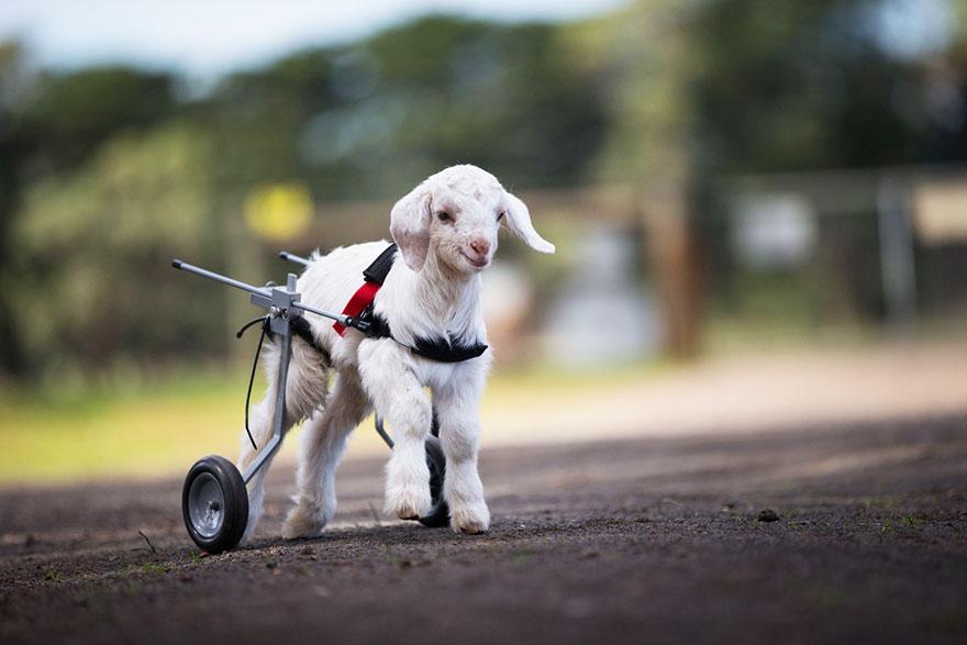 frostie-snow-goat-wheelchair-edgars-mission-10