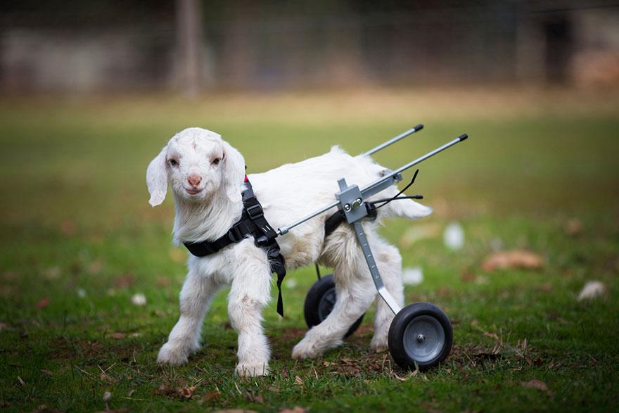 frostie-snow-goat-wheelchair-edgars-mission-2