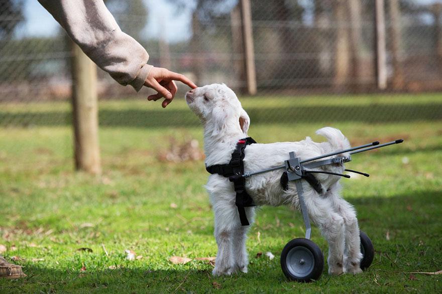frostie-snow-goat-wheelchair-edgars-mission-3