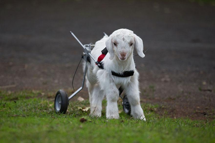frostie-snow-goat-wheelchair-edgars-mission-5