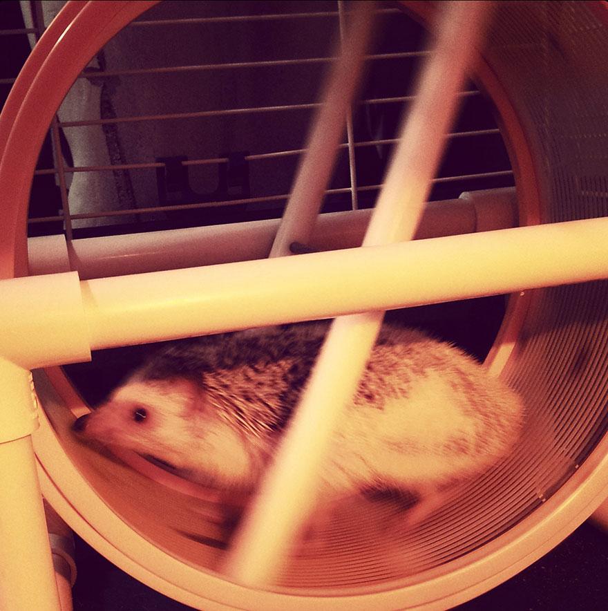norman-cute-hedgehog-brett-jessie-11