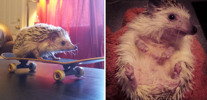 norman-cute-hedgehog-brett-jessie-16