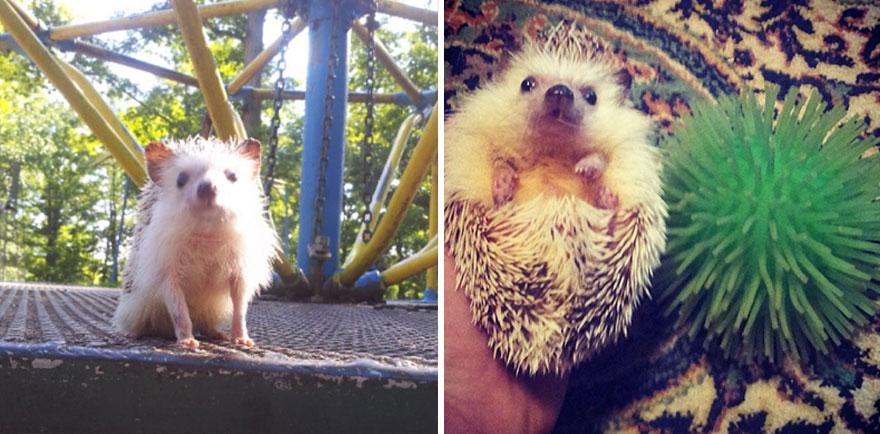 norman-cute-hedgehog-brett-jessie-19