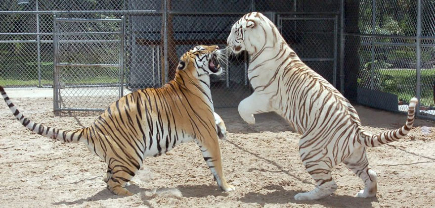 pet-tigers-janda-saber-janice-haley-3