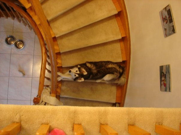 tally-husky-dog-raised-by-cats-9