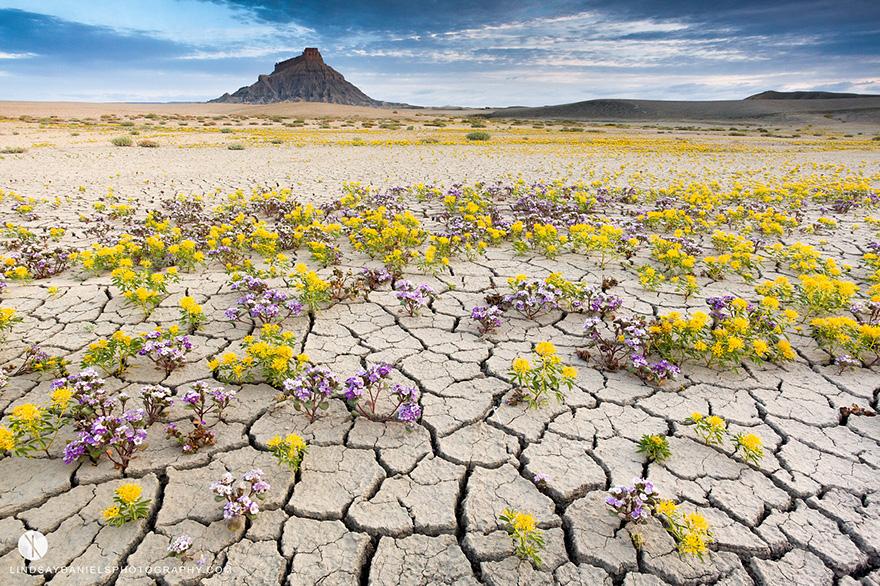 blooming-desert-badlands-utah-11