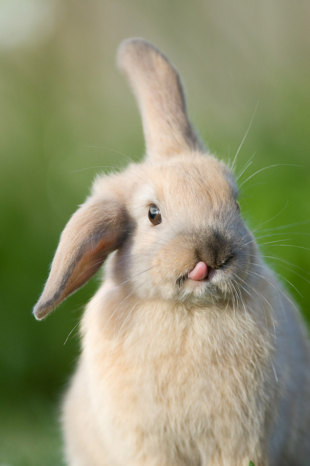 cute-bunnies-tongues-2
