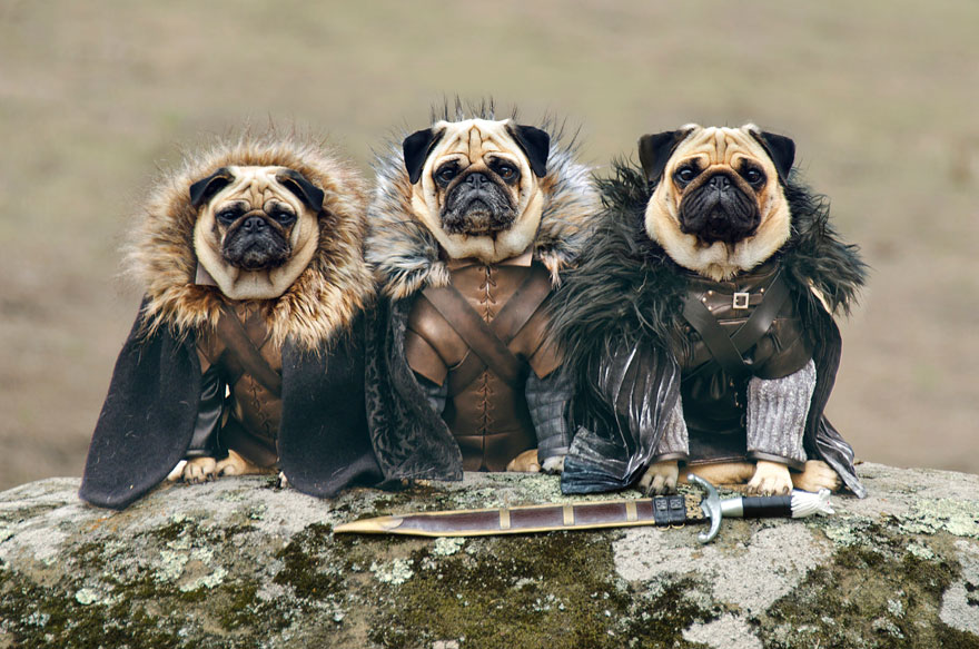 cute-pugs-game-of-thrones-pugs-of-westeros-1