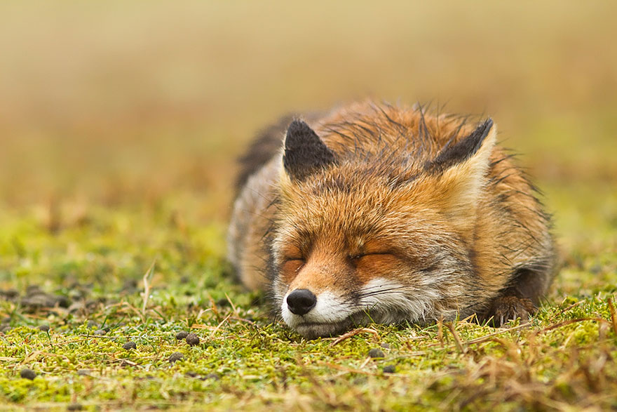 foxes-roeselien-raimond-13