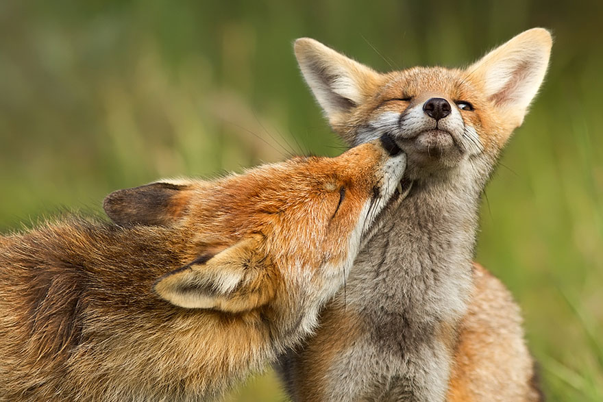foxes-roeselien-raimond-7