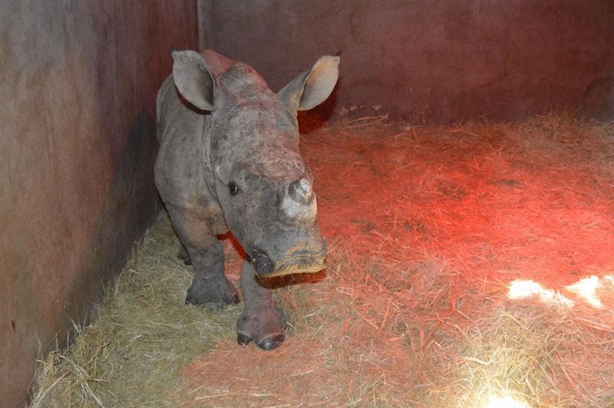 gertje-baby-rhino-rescue-hoedspruit-endangered-species-centre-5