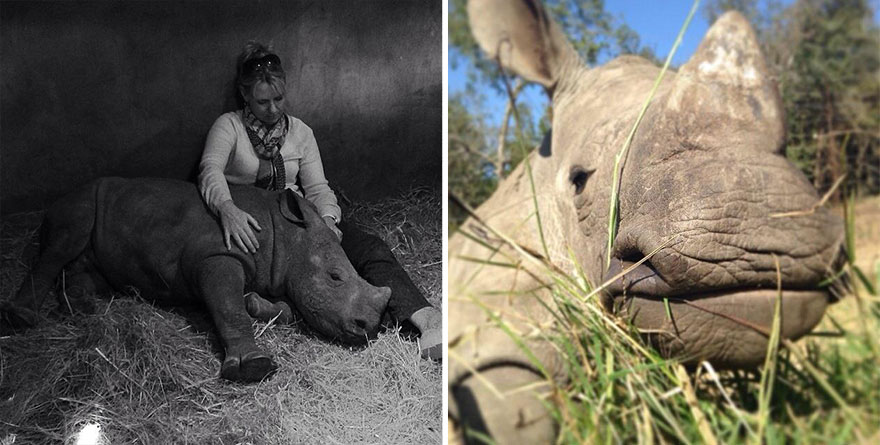gertje-baby-rhino-rescue-hoedspruit-endangered-species-centre-9