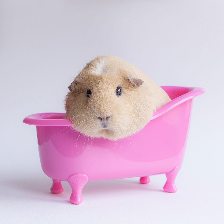 guinea-pig-booboo-lieveheersbeestje-8