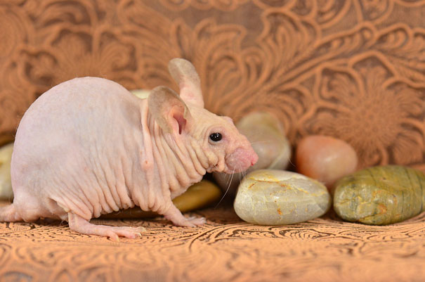 hairless-bald-animals-12