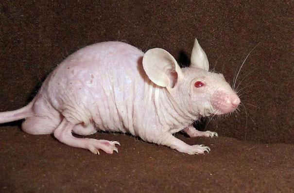 [Bạn biết chưa] Khi động vật bị... trụi lông