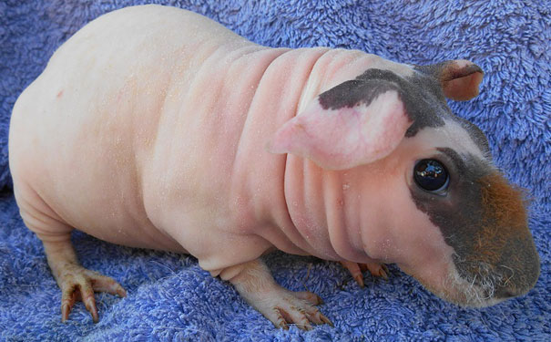 hairless-bald-animals-20